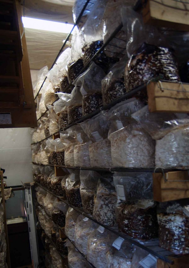 Bags of sawdust that will soon be producing shiitakes.