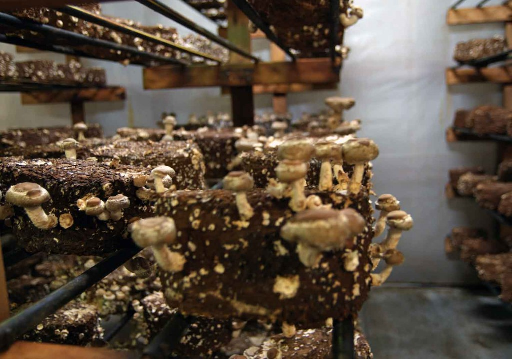 Shiitake blocks in full production.