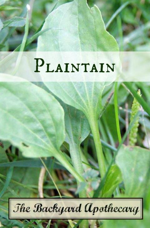 Healing Plaintain