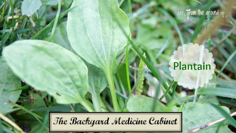 The Backyard Apothecary - Plantain