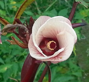 Burgundy Okra flower