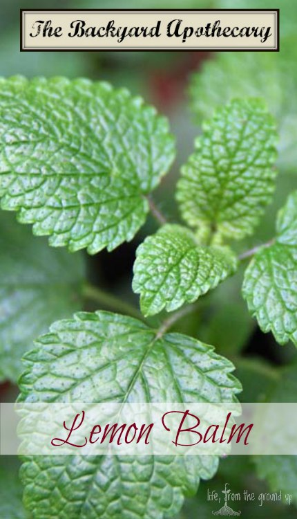 The Backyard Medicine Cabinet - Lemon Balm - lifefromthegroundup.us