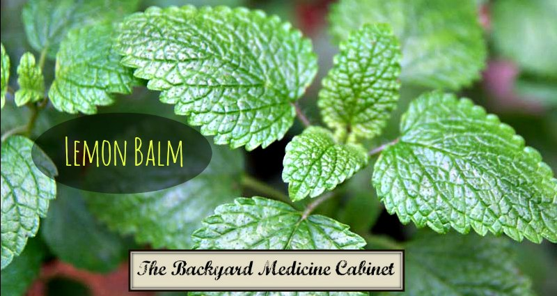 The Backyard Medicine Cabinet - Lemon Balm