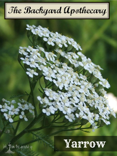 The Backyard Medicine Cabinet - Yarrow - lifefromthegroundup.us