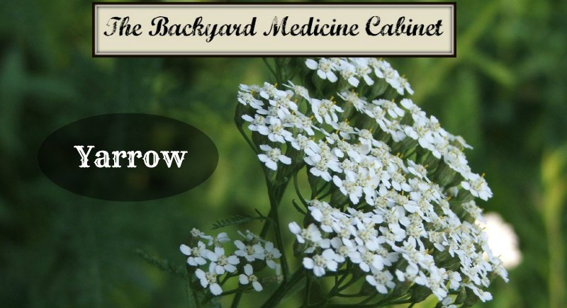 The Backyard Medicine Cabinet - Yarrow