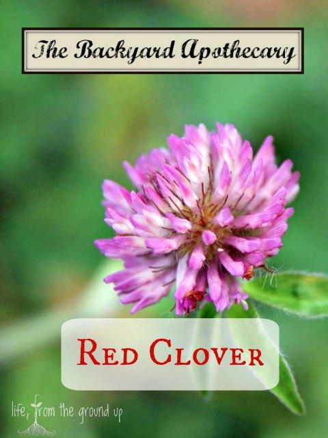 The Backyard Medicine Cabinet - Red Clover