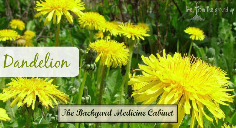 The Backyard Medicine Cabinet: Dandelion