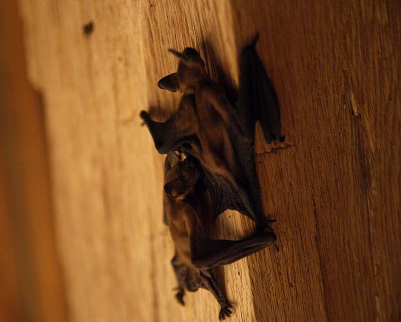 These are some of the bats that joined us for our meal. We did not eat them either.