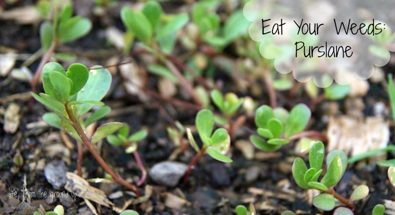 Edible Purslane