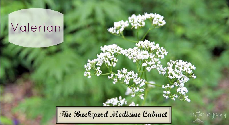 The Backyard Medicine Cabinet - Valerian