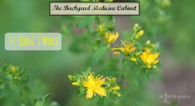 The Backyard Medicine Cabinet - St. John's Wort
