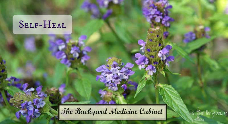 The Backyard Medicine Cabinet: Self-Heal