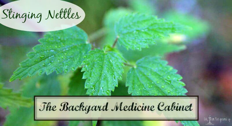 The Backyard Medicine Cabinet - Stinging Nettles