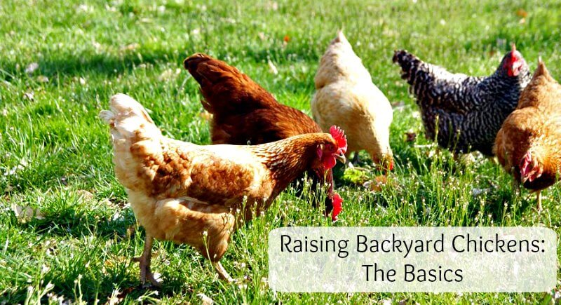 raising backyard chickens what to know before getting started