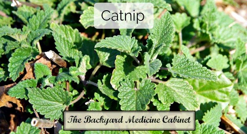 Backyard Medicine Cabinet - Catnip